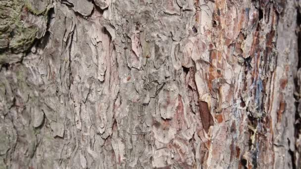 closeup on the bark of a pine tree, stable footage