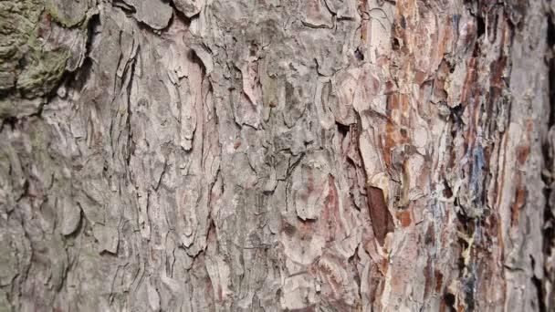zaostřená na kůře borovicového stromu, stabilní záběr
