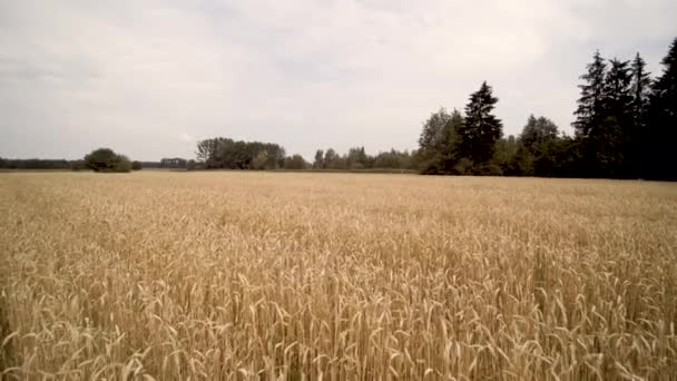 slow and low. fly with the drone over a field of wheat