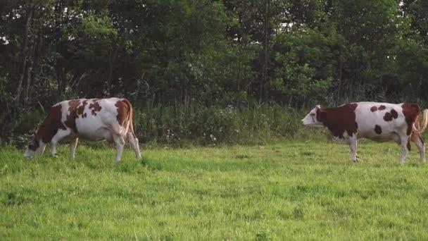 dvě krávy jedí trávu na zelené pastvině