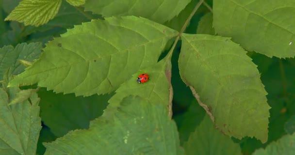krásná červená beruška se otáčí na listu