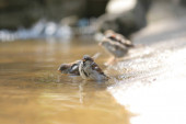 Sparrow se koupe v louži