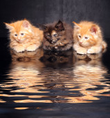 Photo Maine Coon kittens on a black background