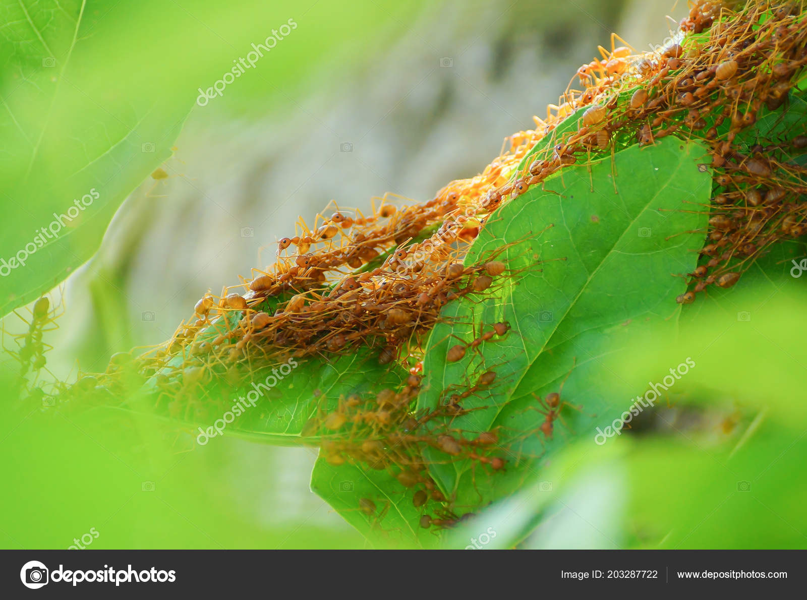 Red Ants Working Team Build Nest Stock Photo Weerapat 203287722