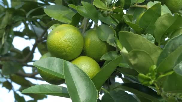 Nahaufnahme Schuss frisch und unreif grüne Zitrone am Baum, grüne Limette in der Natur