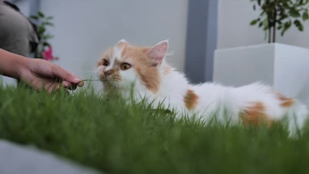 A cute Persian cat is sitting, selective focus shallow depth of field