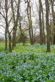 Bluebells between the trees.  Midewin tallgrass prairie, Wilmington, Illinois