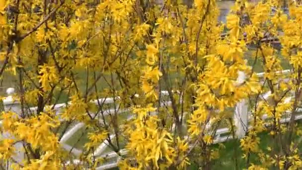 Forsythia bokrok kivirágzott sárga virágok. Napsütéses tavaszi napon, a bokor kezdett virágzik sárga virágok. Gyönyörű bokor a napfényben