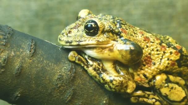 Žába sedící na detail větev stromu.