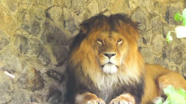 Nagy oroszlán keres szoros, közelkép.