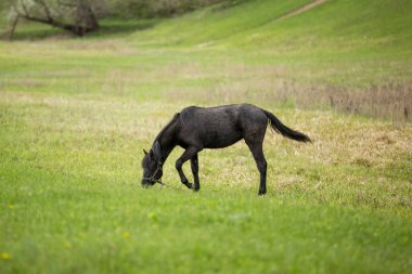 black horse on a green field