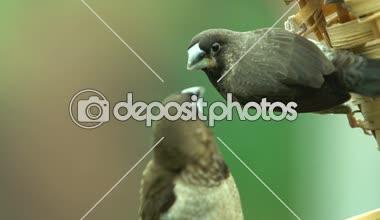 μεγάλο μαύρο πουλί λευκή γκόμενα Ebony μεγάλα βυζιά λεσβίες