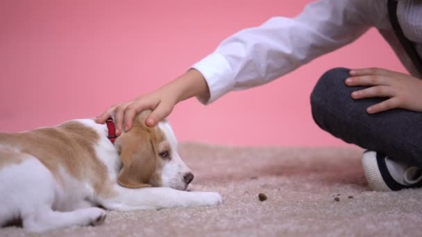 Little boy stroking head of cute beagle puppy on pink background, pet  adoption