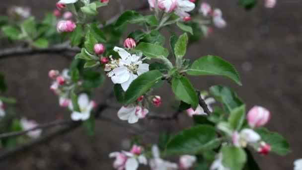 Apple tree blossom, beautiful spring background. Wind shakes the branches of a blossoming apple tree in spring.