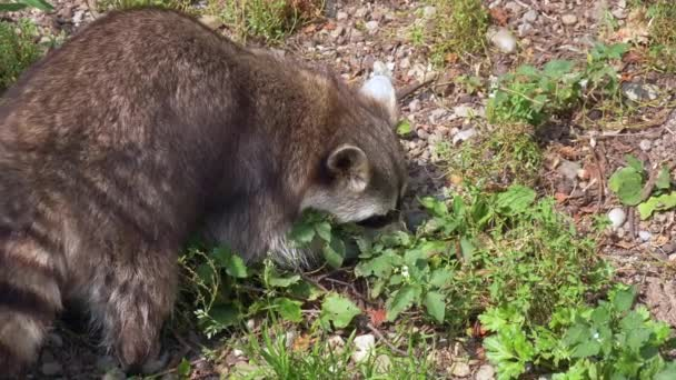 cute adult racoon try to find some meal near water