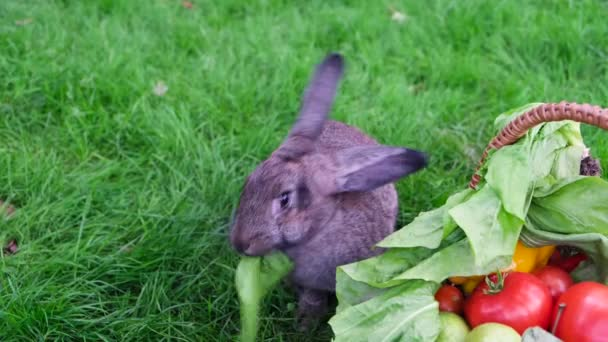 One domestic gray rabbit eating a lettuce leaf from a basket with fresh fruits and vegetables on a background of green grass.