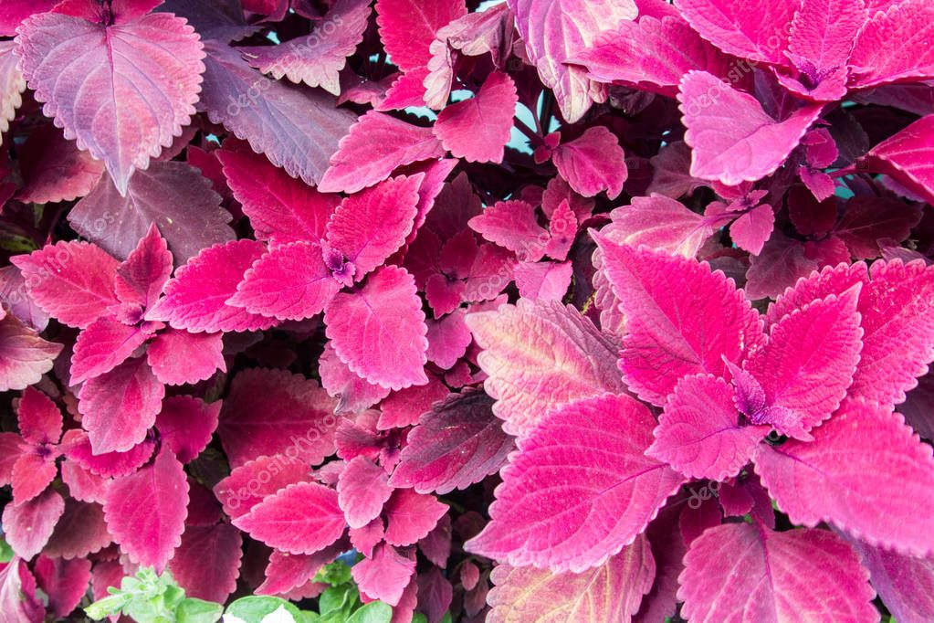 Beautiful Burgundy Coleus. Coleus is a bright colorful annual that is shade loving and drought resistant. It is very popular with gardeners for these reasons
