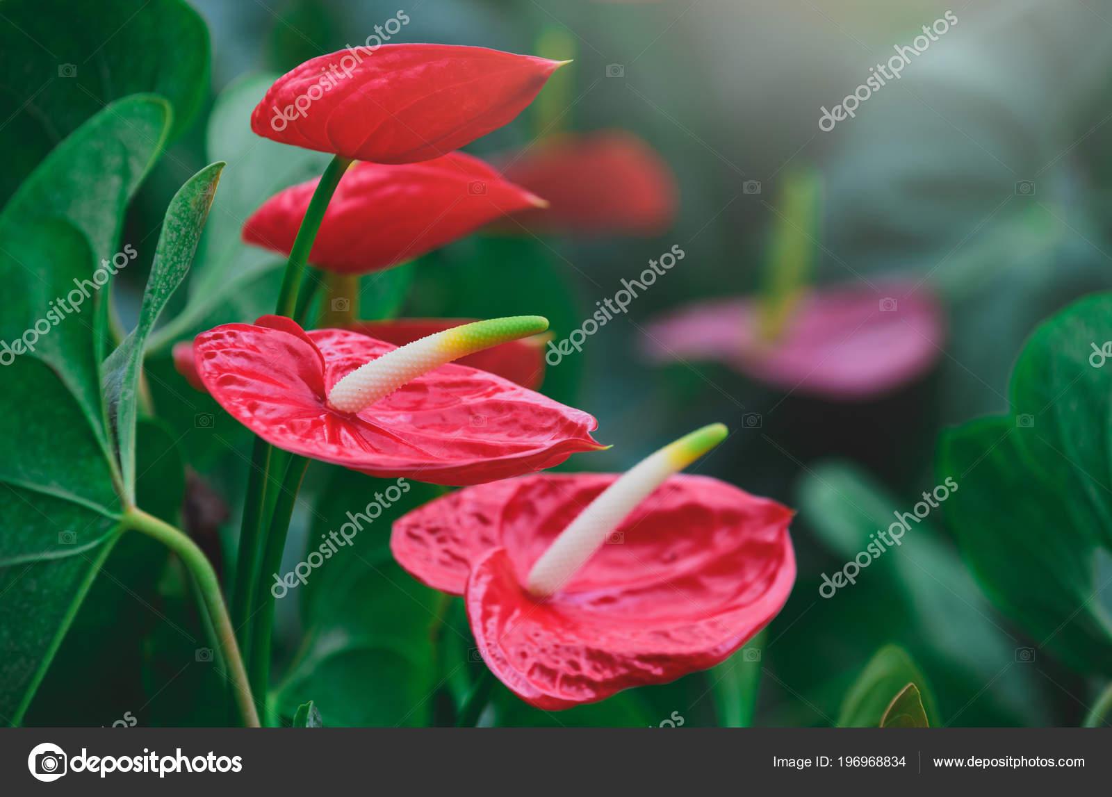 Anthurium Queue Cochon Fleur Rouge Flamingo Floraison Dans ...