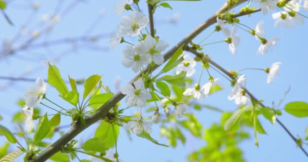 Springtime impressions - beautiful flowers and foliage of a cherry tree - close-up - camera pan - ProRes