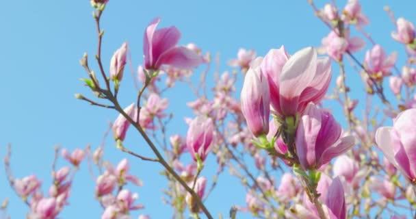 Jarní dojmy-nádherná Magnolie květiny proti čiré modré nebeskové pánvi-Prory