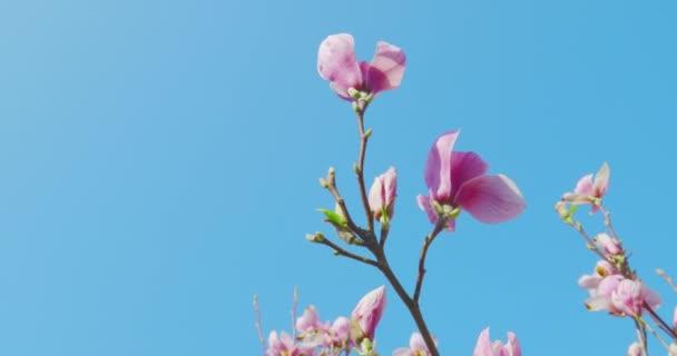 Jarní dojmy-nádherný šácholan kvete na jasně modré obloze. Květiny se lehce pohybují ve větru. Kamera pomalu nabíjí-Prory