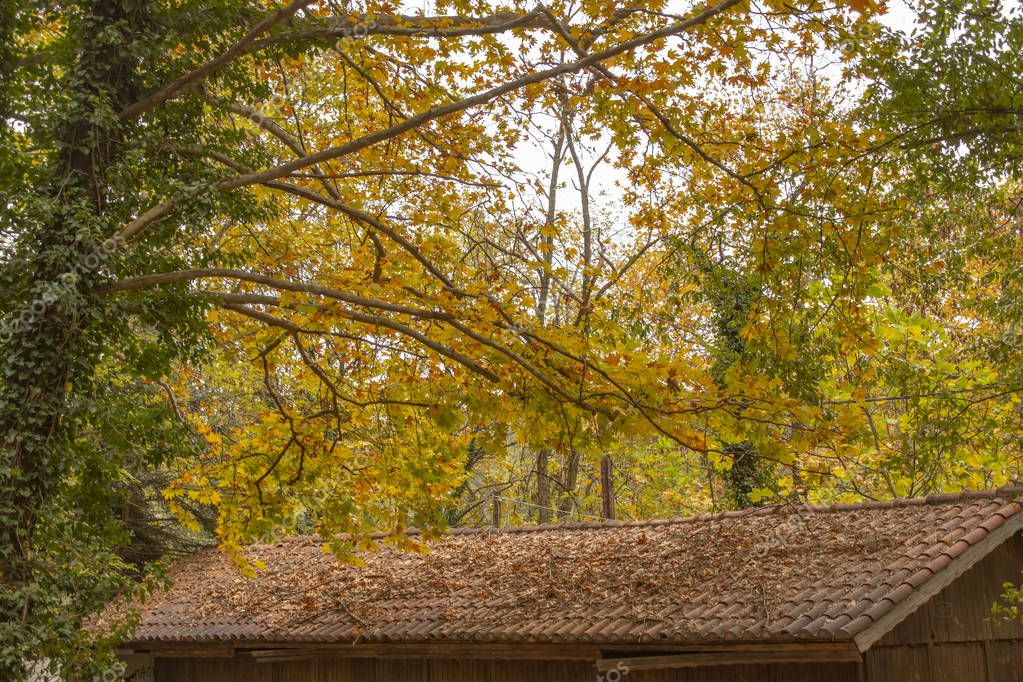 Tree branches over the tiled roof of a country house strewn with dry autumn leaves