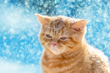 Portrait of a small ginger kitten walking in the snow in the winter in a blizzard