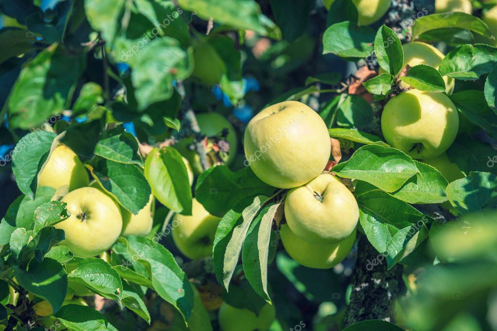 Ripe apples Antonovka on a branch in an orchard