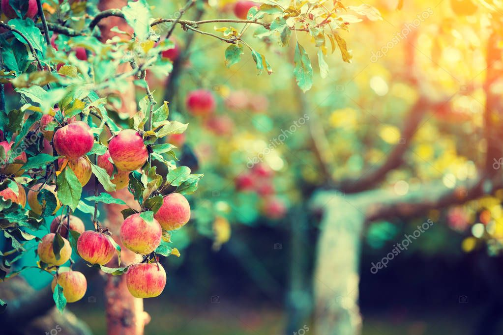 Red ripe apples on a branch of the apple tree in the orchard