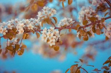Vintage branch of a blossoming pear against a blue sky. Spring nature background