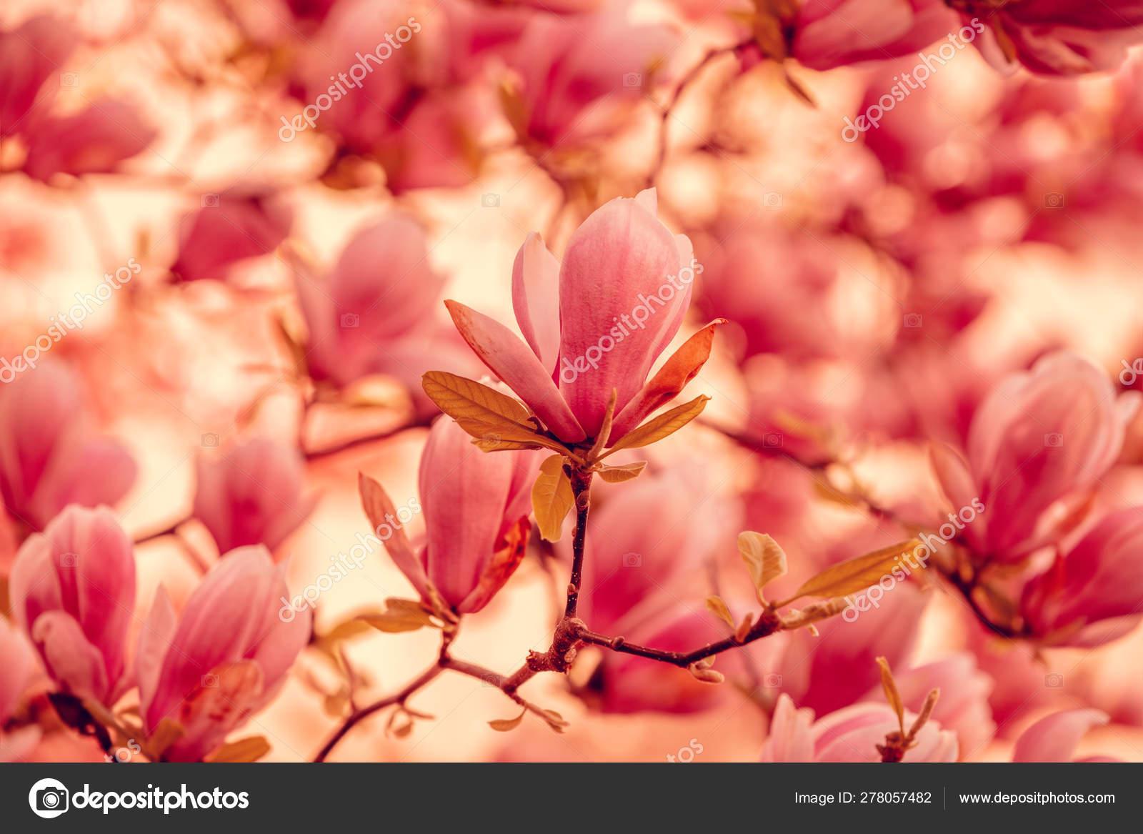 Magnolia Florescente Vintage Arvore Parque Primavera Stock Photo C Vvvita 278057482