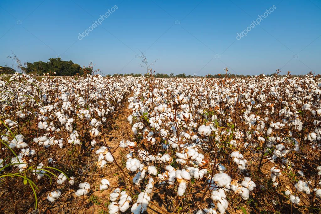 Beautiful cotton field in Alabama.