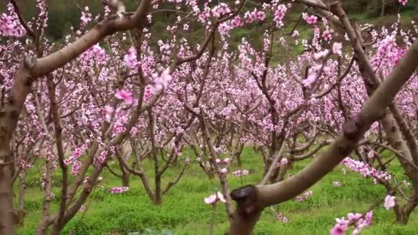 Blossoming sakura garden, tender pink flowers