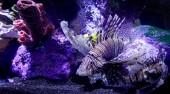 Exotické podvodní život Lev ryby