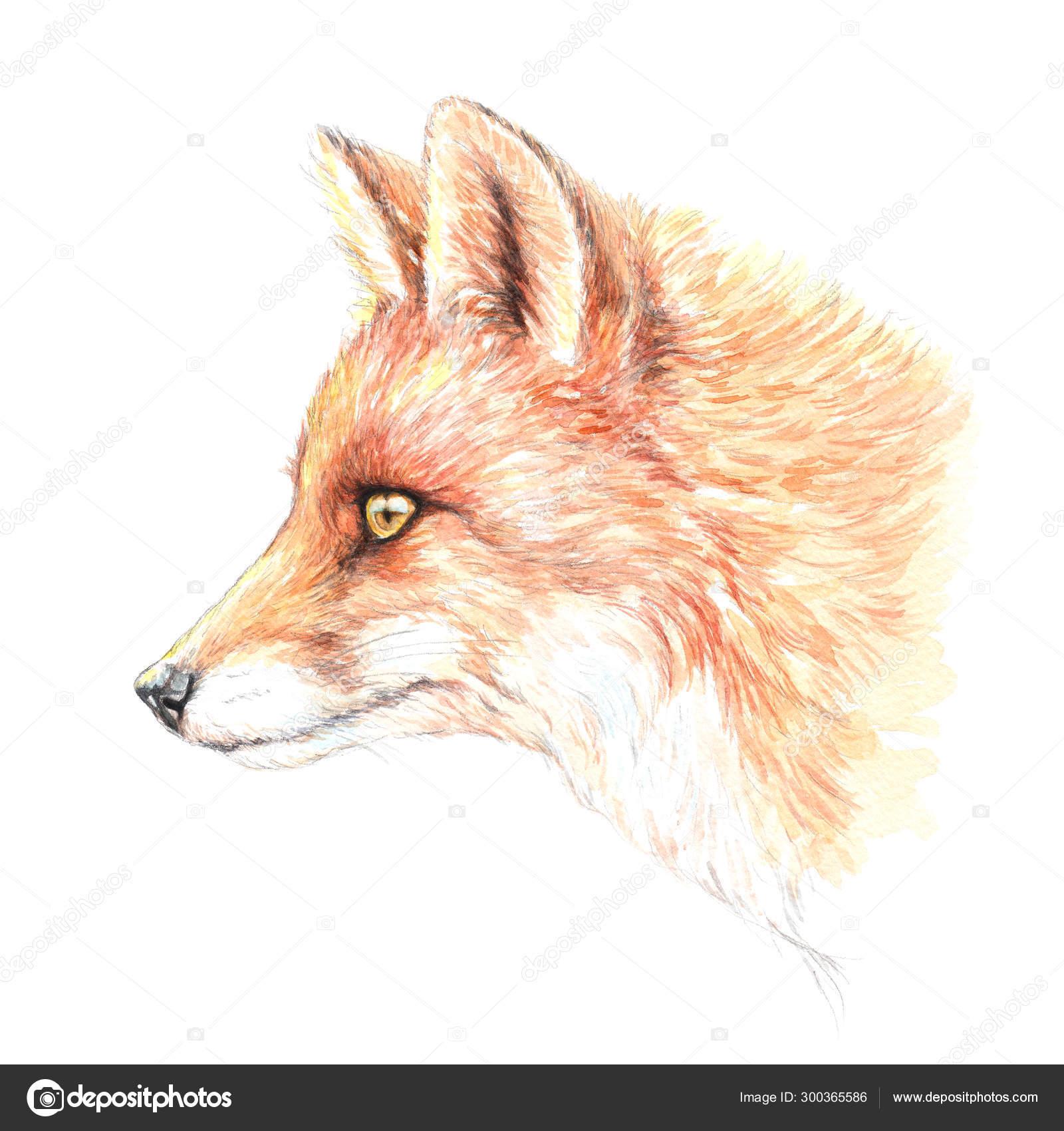 Watercolor Drawing Fox Head Portrait Stock Photo C Vensk 300365586
