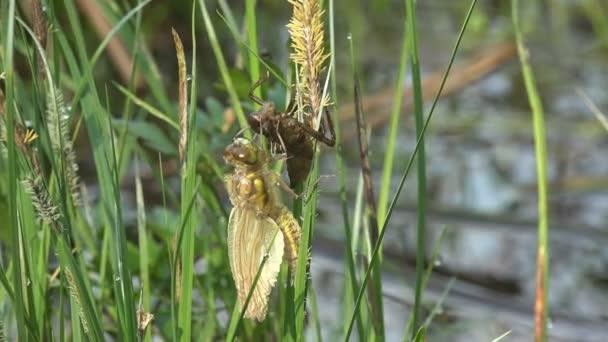 Narození hmyzu dragonfly. Vanička na kůži dospělých vážek. 3. Makro