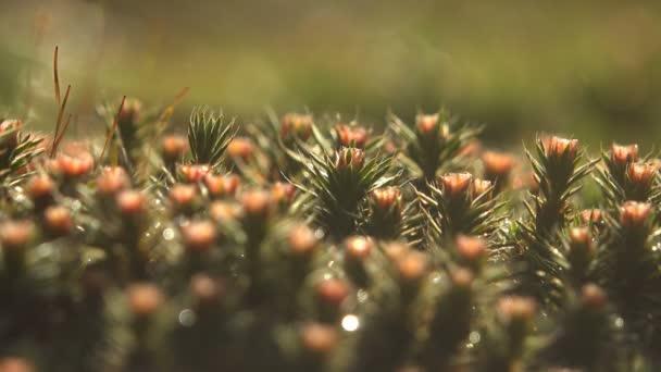 Fantastický rosy. Čerstvý zelený mech v forrest, pokles svítí v slunci, makro rostliny