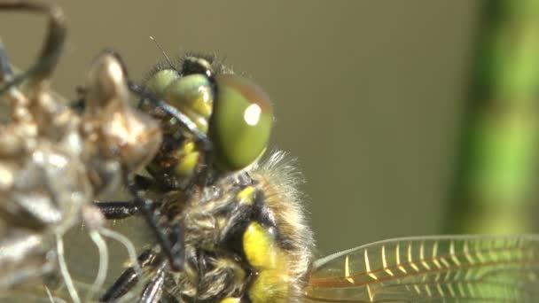 head with large eyes of a young newly born dragonfly, Birth insect. Macro