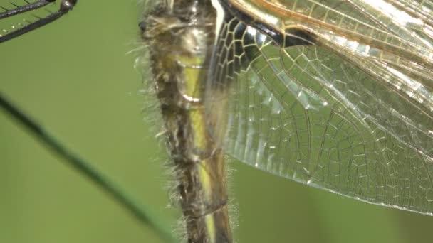 vzorek transparentní křídel mladých nově narozených dragonfly, narození hmyzu. Makro
