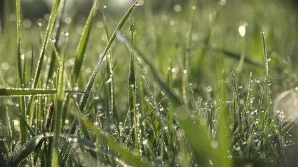 Detail kapky rosy trávy na hřišti v lese letní ráno