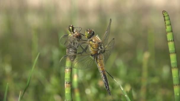 Narození hmyzu dragonfly. Pro dospělé vážky se právě vynořil z vaničky kůže a čeká na křídla rozbalit a suché. Třetí fáze. Makro