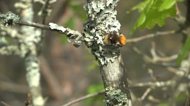 Bumblebee sitting on a young moss on tree in wild forest. Close-up insect