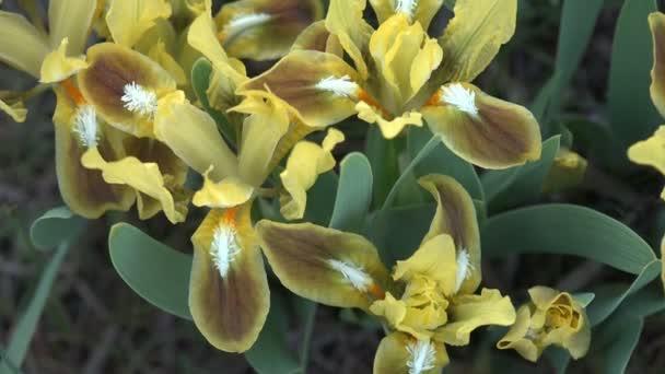 Žlutý květ s třemi lístky roste v horách a skály silné letní vítr