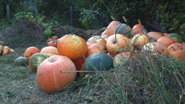 Sklizeň žluté dýně na farmě se nachází v zahradě na okraji zemědělské pole určené k prodeji na svátek Halloween