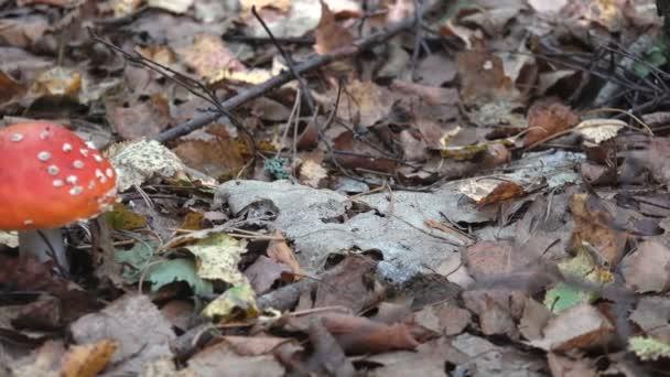 Bílé agaric v trávě sukni na stonku, podzimní čas hub v lese