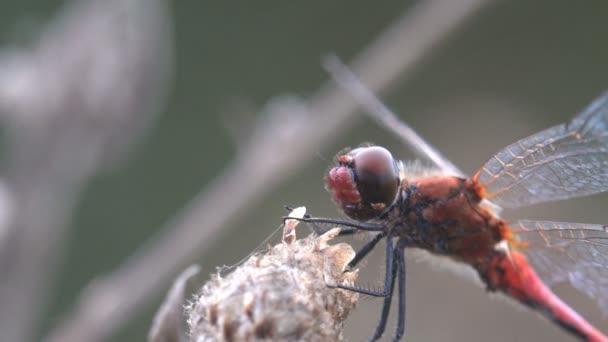 Rotadern-Darter oder Nomade (sympetrum fonscolombii) ist eine Libelle der Gattung sympetrum. Nattern ähneln anderen Sympetrum-Arten aber. Männchen haben einen roten Hinterleib, rötlicher als viele