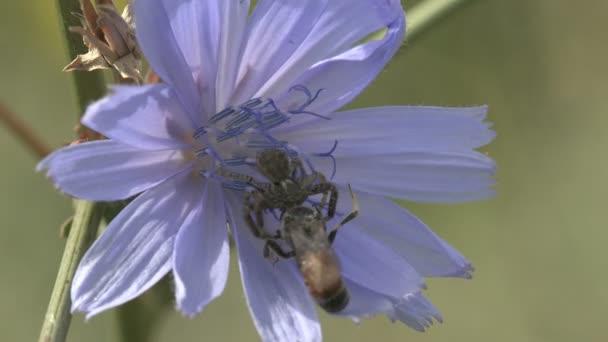 Die Spinnenfamilie der grauen Springspinnen (salticidae) greift Bommelwespen (ammophila sabulosa, rotgebänderte Sandwespe) auf einer im Wind schwingenden blauen Blüte an. Insektenmakro 4k