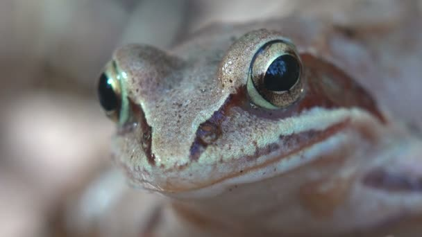 Portrait European Common Brown Frog, Rana temporaria, Common Frog Sits on yellow foliage in autumn forest. Macro nature