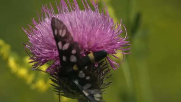Pillangó ül egy bogáncs virág és tántorog a szélben. A kilenc foltos molylepke vagy sárga öves burnet (Amata phegea, korábban Syntomis phegea) az Erebidae, tigrislepkék családjába tartozik. Makró