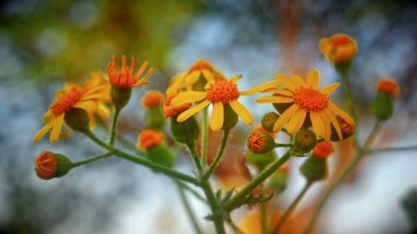 květiny žluté makro v louce 4k